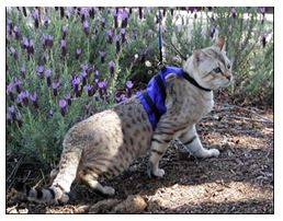 Walking Cat On A Leash