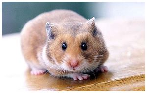 Hamster pet for you
