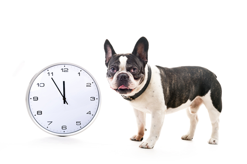Dog with big clock over white background