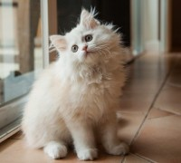 Cute long-haired white kitten waiting at the door and looking up