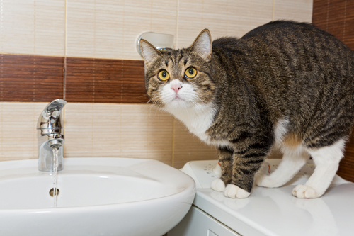 Cat peeing in the sink
