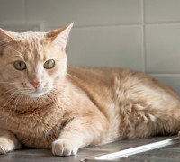 Naughty ginger tabby cat lying on the kitchen counter and dish drainer