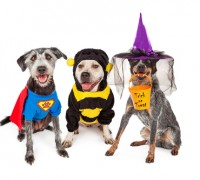 Three adorable dogs wearing Halloween costumes including super hero, bumble bee and witch