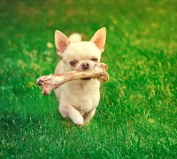 chihuahua holding dog bone and walking on the grass