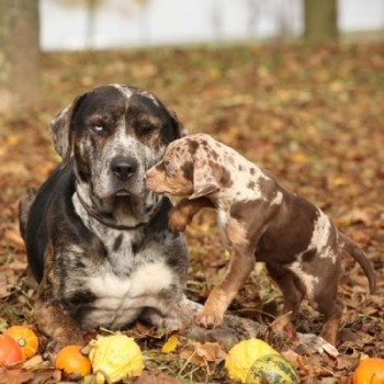 Amazing Louisiana Catahoula dog with adorable puppy in autumn