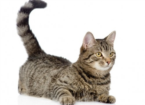 What Does Cats Wagging Of Tail Mean