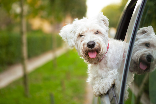 maltese puppy looking out the car window