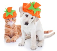 Autumn pet puppy dog and kitten cat together dressed up and wearing Fall pumpkin costumes for Thanksgiving and Halloween trick or treat