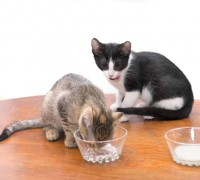 cat eat cottage cheese