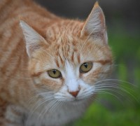 urine crystal in cats