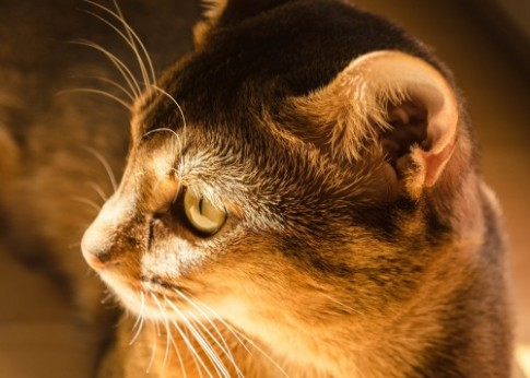 ear infection in cats